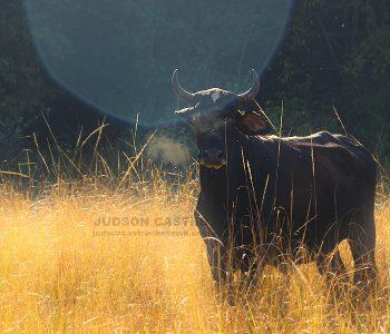Vaca ao Amanhecer